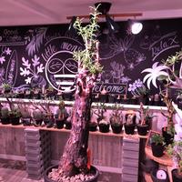 mestoklema   tuberosum《L  size》※冬季も成長開花する潅木‼︎肌質も出で立ちもカッコいい一株‼︎※mad black pot植え