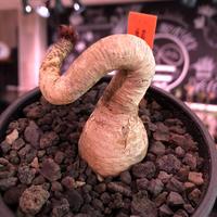 euphorbia ramena《M size》※ぽっこり塊根の上、特に絶妙な捻くれ加減が堪らないラメナ‼︎希少南アフリカ物※mad black bowl pot植え