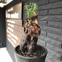 mestoklema   tuberosum《M  size》※冬季も成長開花する潅木‼︎丈短ででっぷり株ながら幹内にエグれも有り、大変wildな男前なblack肌‼︎※mad black pot植え