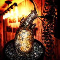 packypodium  gracilius《S  size》※現地球発根済株※堪らなく特化した驚愕株‼︎現地焼け激しいyellow-goldグラキ‼︎※mad black bowl pot植え