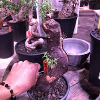 mestoklema   tuberosum《L size》サイドにあるド派手な縦ラインの傷に生命力を感じる希少な1株‼︎   ※mad  black  pot植え