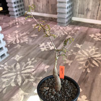 opercullicarya   decaryi  littmon  seed🌱  《4年半株》※大変成長の早い良株&良樹形デカリー‼︎※mad  black  pot植え (限定 1株)