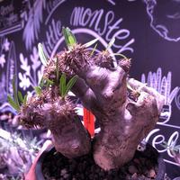 packypodium brevicalyx《M size》正真正銘W-head🌵🌵※発根済み株  littmon激オススメ株‼︎   ※mad  black  pot植え