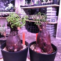 mestoklema   tuberosum《M  size》冬季も成長開花するインテリア性高き人気灌木caudex‼︎  《限定2株》