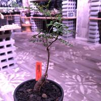 opercullicarya   packypus  littmon  seed🌱 《4年半株》枝振りも良く装い良き1株‼︎ ※mad black  bowl  pot植え (限定1株)