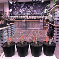 fouquieria   columnaris(S  size)※現地球発根済み株‼︎※小振ながら大変枝振りbalanceも良き冬の人気者‼︎※mad black pot植え ※限定4株‼︎