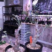 pelargonium   carnosum《M size》冬型caudex