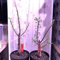 fouquieria  purpusii《M size》 ※希少株  ※幹の模様が特徴な人気種 ※限定2株