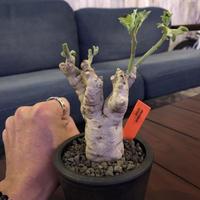 pterodiscus  luridus《M size》白肌で立体的な幹と枝‼︎かわいいです。※mad  black  pot植え