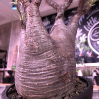packypodium  gracilius《L size》※現地球株  発根済み株‼︎  (限定1株)ぼってり体型に激しい枝振り‼︎オススメ株‼︎※mad black pot植え