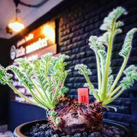 pelargonium  appendiclatum《大きめM size》※店主個人株‼︎現地球発根済株※実生株しかまず出回る事のない激希少‼︎更にW-he'd‼︎🤩※mad black pot植え