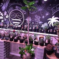 packypodium  decaryi 《 L  size》希少size‼︎ ※現地球発根済み 株元から珍しい程枝を出すでっぷり株‼︎※mad black pot植え
