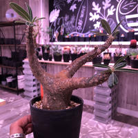 packypodium    cactipes《M size》発根済み株‼︎男前vintage -gold