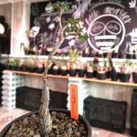 opercullicarya  packypus   littmon  seed🌱 《5年株》幹、パワータンク共にしっかり育ち、balanceも良きパキプス※mad black bowl pot植え
