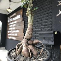 opercullicarya   decaryi  littmon  seed🌱  《9年株》※長きに渡り育て幹のボコボコも強きパワータンクもゴツいオススメ株※mad  black  pot植え