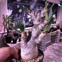 packypodium    inopinatum 《M size》発根済み株‼︎