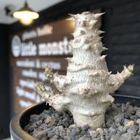 packypodium  windsorii《小さめM size》※激希少‼︎現地実生発根済株※現地ならではの肌質‼︎将来性高きweightは低き枝振り良き良樹形‼︎※mad black pot植え