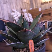 agave    titanota《L size》