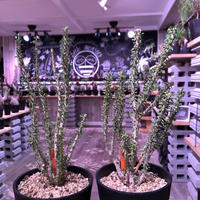 ceraria   namaquensis《L size》※年々分岐する上、上品且つ大変綺麗なsilver green colorの葉が美しい一株‼︎※限定2株