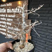 commiphora  simplicifolia《M size》シルバーの枝と棘‼︎