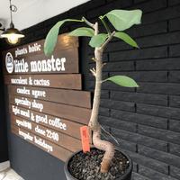adansonia  digitata (バオバブの木)《M size》 ※発根済株※冬季もしっかり管理した小さめでも丈の締まった成長が大変楽しみなバオバブ※mad  black  pot植え