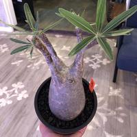 packypodium  gracilius《大きめ M size》※現地球株  発根済み株‼︎  (限定1株)ぼってり感と丁度良いサイズ感‼︎ ※mad black pot植え