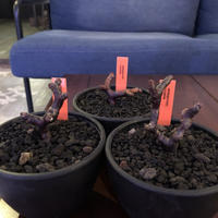 pelargonium  mirabile《S size》※限定3株  誰もが愛おしく堪らないと感じる冬型の人気者‼︎ ※mad black bowl pot植え‼︎