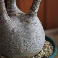 Pachypodium グラキリス