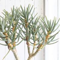 Aloe ラモシシマ