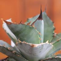 agave titanota  アガベ  チタノータ  ホワイトアイス