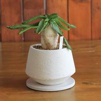 Euphorbia stellata 飛竜
