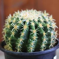 Echinocactus プラチナ金鯱