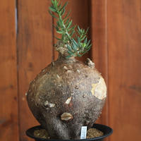 pachypodium bispinosum パキポディウム ビスピノーサム