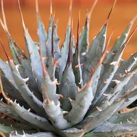 agave utahensis eborispina ユタエンシス エボリスピナ
