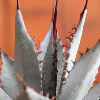 agave 屈原の舞扇