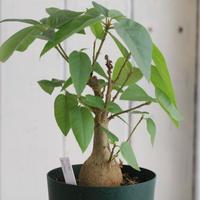 Ficus パルメリー