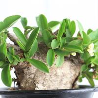 Euphorbia イトレメンシス