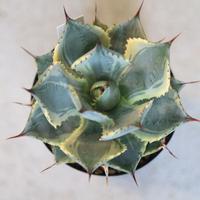 agave potatorum トレードウィンズ