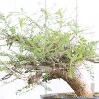 Boswellia ネグレクタ