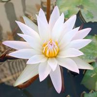 Blessing  Lotus 〜祝福・ロータス 1.5ml八角ボトル