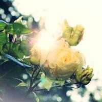 """Clear  rose  〜""""クリアローズ"""" 薔薇 八角ボトル"""