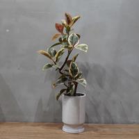 フィカス ティネケ/Ficus Tineke