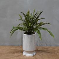 タマシダ/Nephrolepis cordifolia