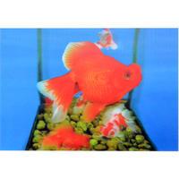 """【 restock !】""""L.M.kartenvertrieb""""  goldfish / 3D postcard (lu-006)"""