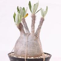 Pachypodium Gracilius パキポディウム  グラキリス  未発根  no. 4