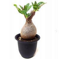 Pachypodium Gracilius パキポディウム  グラキリス  №1 little