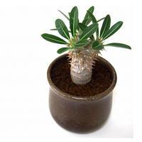Pachypodium rosulatum   パキポディウム ロスラーツム  №1