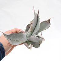 Agave pygmaea 'Dragon Toes' PUP no.2