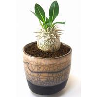 パキポディウム デンシカウレ 恵比寿大黒 Pachypodium densicaule  france pot