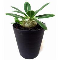 Pachypodium brevicaule パキポディウム  恵比寿笑い(白花)